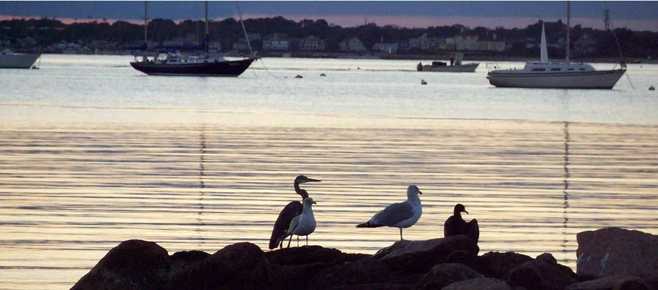 Egrets and seagulls on the harbor in Chatham MA